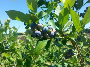 Blueberry Picking in Massechusetts