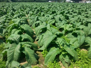Tabacco Fields in Conneticut