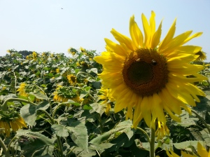 And Last But Not Least; Sunflower Fields!